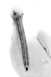 Pelicane portrait (III), Walvis Bay