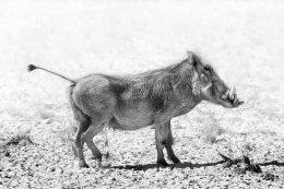 Warthog on alert, Etosha