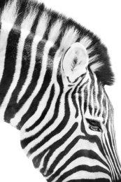 Zebra portrait (II), Etosha