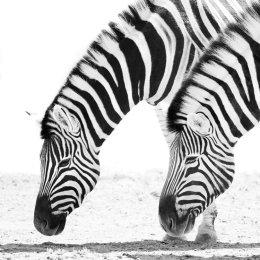 Zebras, Etosha