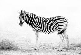 Zebra in dust storm, Etosha