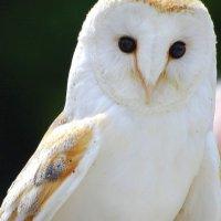 Barn Owl - Scréachóg reilige