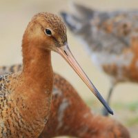 Black-tailed Godwit - Guilbneach earrdhubh 1
