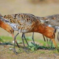 Black-tailed Godwit - Guilbneach earrdhubh 2