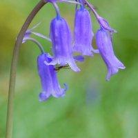 Bluebell - Coinnle corra
