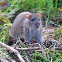 Brown Rat - Francach donn