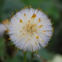 Coltsfoot - Sponc