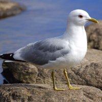Common Gull - Faoileán bán