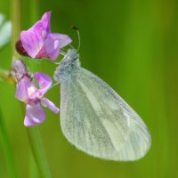 Cryptic Wood White - Bánóg choille