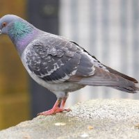 Feral Pigeon - Colm aille