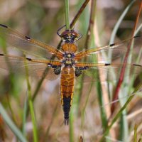 Four-spotted Chaser - Ruagaire ceathairbhallach