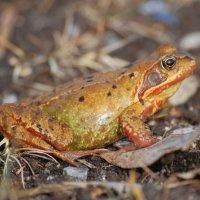 Common Frog - Frog