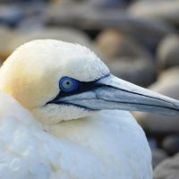 Gannet 1 - Gainead