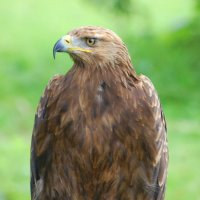 Golden Eagle - Iolar firéan