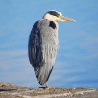 Grey Heron - Corr réisc