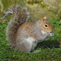 Grey Squirrel - Iora glas