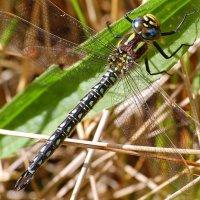 Hairy Dragonfly - Seabhcaí an earraigh