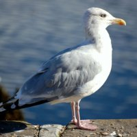 Herring Gull - Faoileán scadán