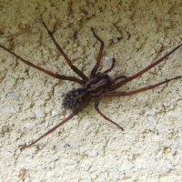 House Spider - Tegenaria sp.