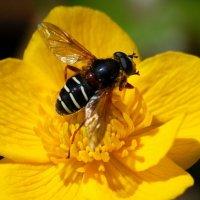 Hoverfly - Sericomyia lappona