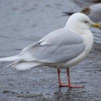Iceland Gull adult -  Faoileán Íoslannach
