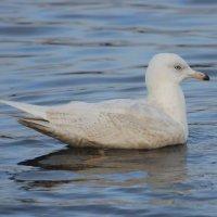 Iceland Gull immature - Faoileán Íoslannach