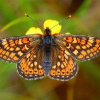 Marsh Fritillary - Fritileán réisc