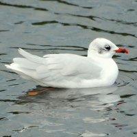 Mediterranean Gull 1 - Sléibhín meánmhuirí