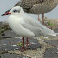 Mediterranean Gull - Sléibhín meánmhuirí