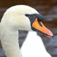Mute Swan 1 Eala bhalbh