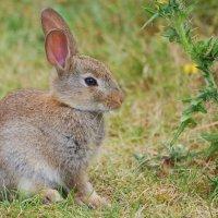 Rabbit - Coinín