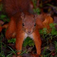 Red Squirrel - Iora rua
