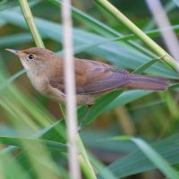 Reed Warbler - Ceolaire giolcaí