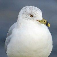 Ring-billed Gull 1 - Faoileán bandghobach