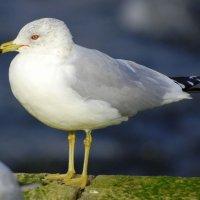 Ring-billed Gull - Faoileán bandghobach