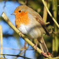 Robin - Spideog