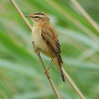 Sedge Warbler - Ceolaire cíbe