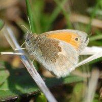 Small Heath - Fraochán beag
