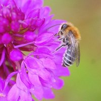 Solitary Bee - Colletes floralis