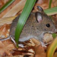 Wood Mouse - Luch fhéir