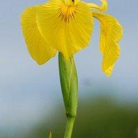 Yellow Iris/Yellow Flag - Feileastram