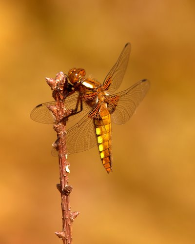 Immature_Male_Broad-bodied_Chaser