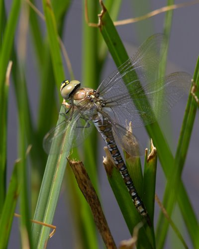 Common_Hawker_Dragonfly