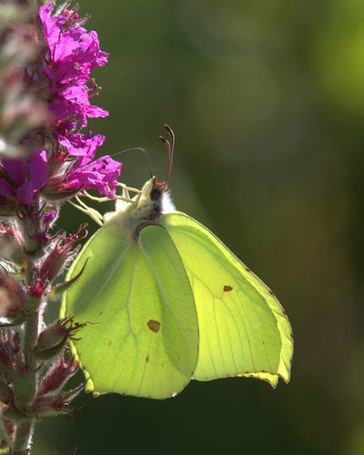 Brimstone_Butterfly