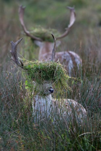 """Rutting Fallow Stags """"In The Book"""" BWPA 2011"""