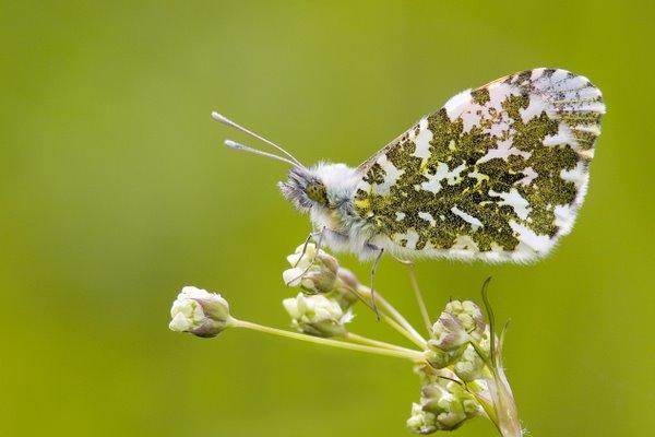 Male_Orange_Tip_Butterfly