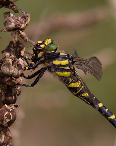Golden_Ringed_Dragonfly