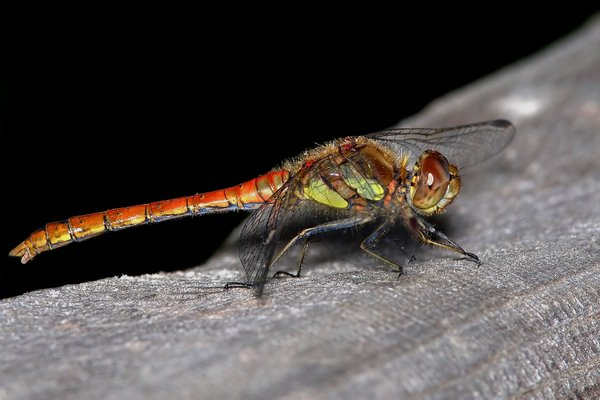 Commom_Darter_Dragonfly