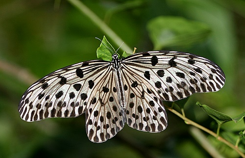 Borneo_Butterfly_2