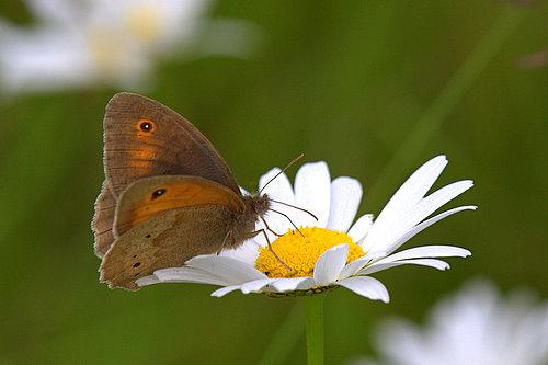 Meadow_Brown_Butterfly_1
